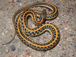 Una serpiente de liga amarilla
