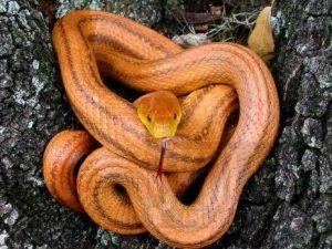 Cercano a la serpiente de la rata de Texas