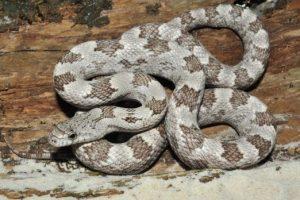 Roble blanco serpiente de rata gris