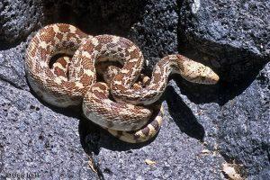 Sonoran gopher serpiente tendido en roca