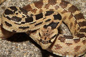 Primer plano de una gran cabeza de serpiente picadora de lavabo
