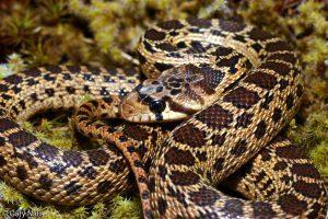 Serpiente gopher del Pacífico en la hierba