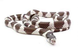 Primer plano California serpiente rey en fondo blanco