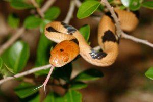 Una serpiente tigre mostrando su lengua