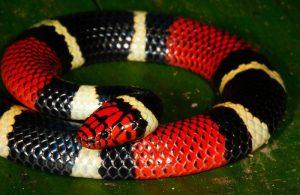 Datos de Serpientes de Coral poco Conocidos y 4 Especies Comunes (10 Datos Interesantes)