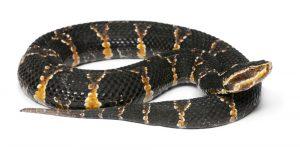 Una serpiente de agua negra en el fondo blanco