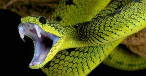 Las 10 Mejores Serpientes Venenosas del Mundo