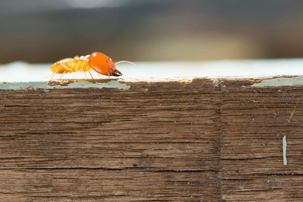 Una termita está caminando