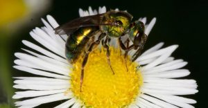 La sudor abeja femenina está recolectando polen de una flor blanca.