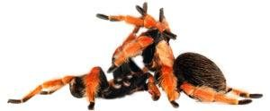 Tarantula apareamiento en fondo blanco.