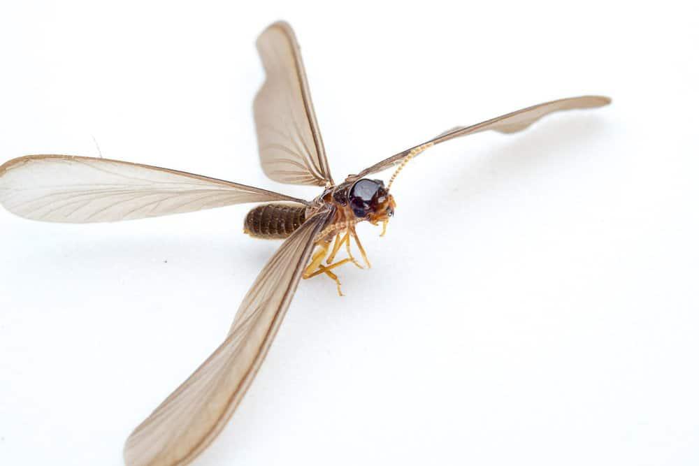 Identificación de termitas en el fondo blanco