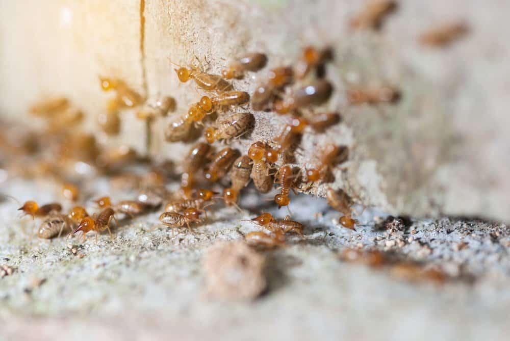 Termitas: Tipos, Daños y Cómo Manejar una Mordedura de Termitas?