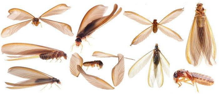 Termitas Vs. Hormigas: ¿Cómo Decir la Diferencia?