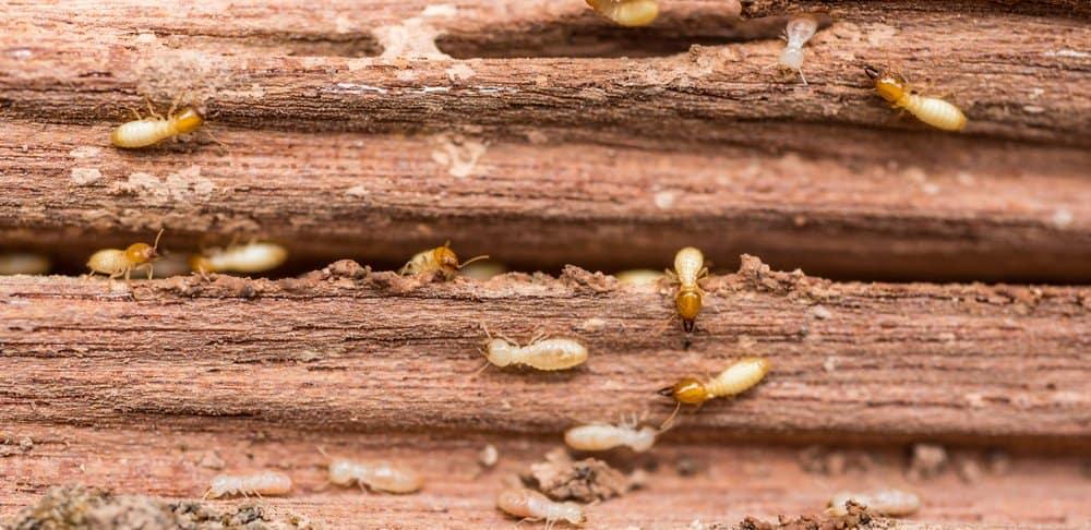9 Mejores Asesinos de Termitas vale la Pena Comprar