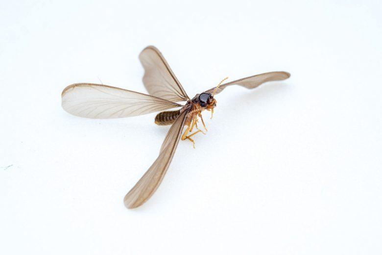 3 Métodos Probados para Deshacerse de las Termitas Voladoras (Rápido)