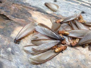 Termita alada tumbada en el suelo
