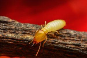 Termitas de Madera Secada – Cuidado con esta Plaga que come Muebles