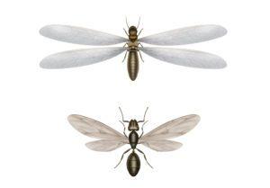 Termitas y hormigas voladoras