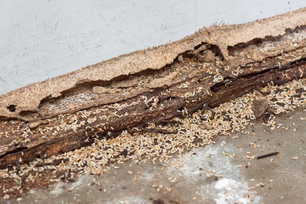 Daño de termitas en bosques