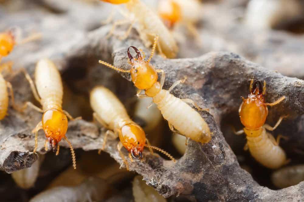 Cerca de la imagen de termitas