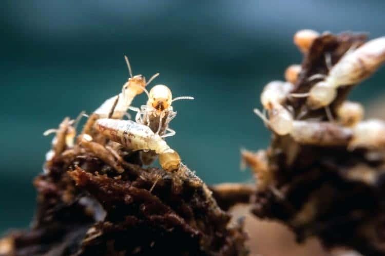 Acercamiento de termitas de madera seca