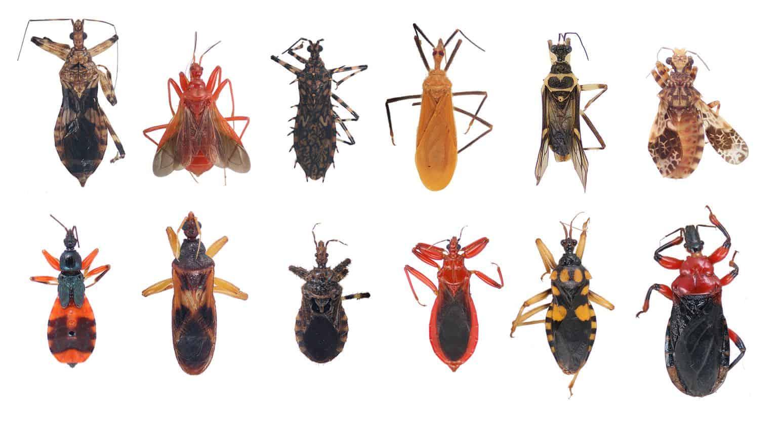 Tipos de Insectos Asesino — 8 Guía de Tipos Principales