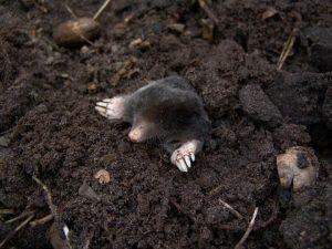 Un topo está tirado en el suelo