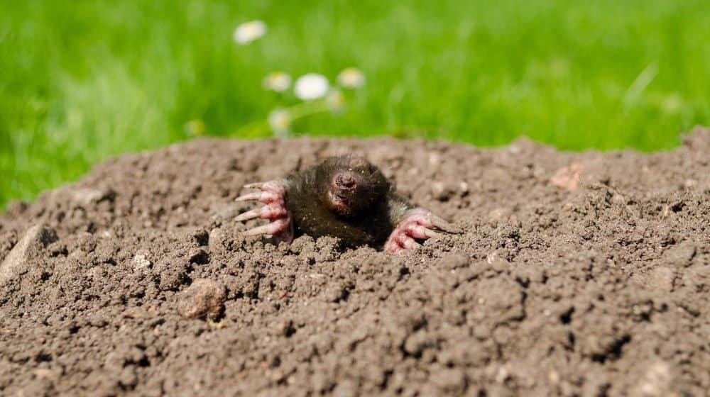 Un topo está atrapado en el suelo