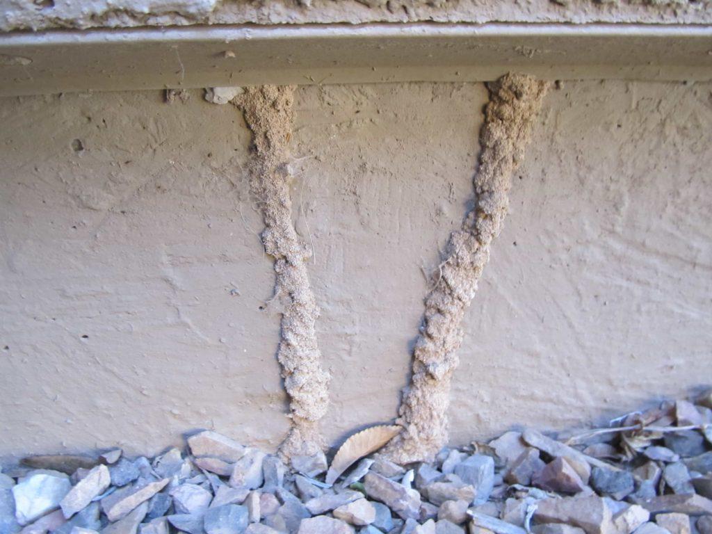 Tubos de refugio de termitas