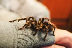 Una araña de tarántula se subió a la mano de una chica.