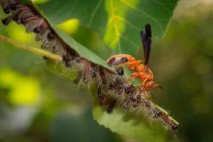 Una avispa roja se alimenta de orugas peludas y rayadas congregadas en una hoja.