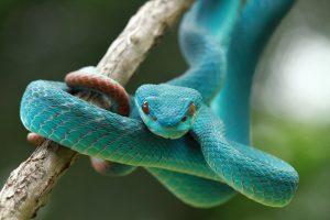 Primer plano de una serpiente Víbora azul