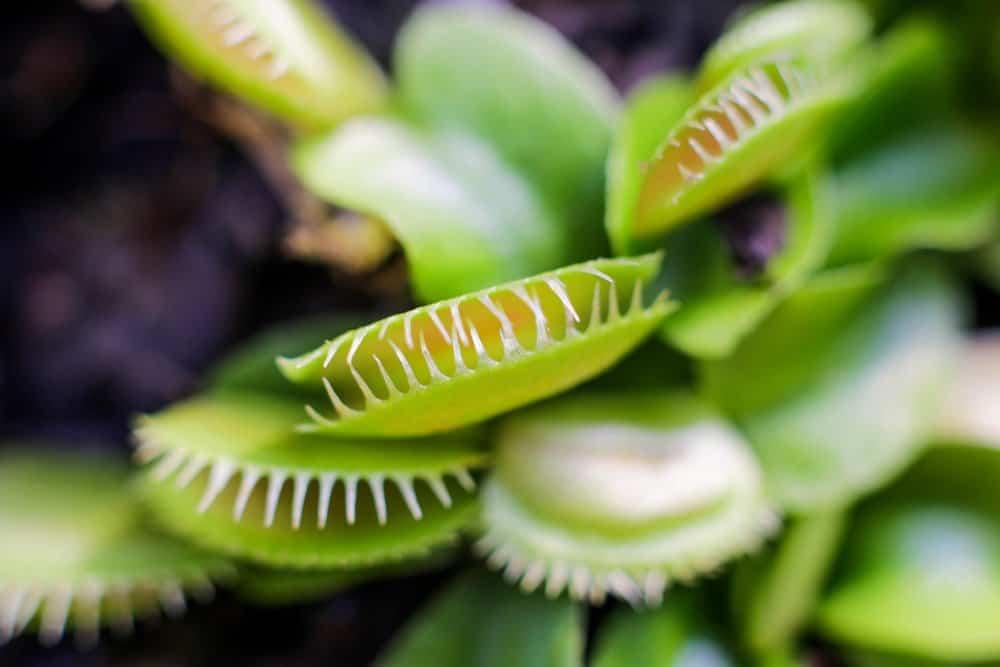 Venus flytrap fondo