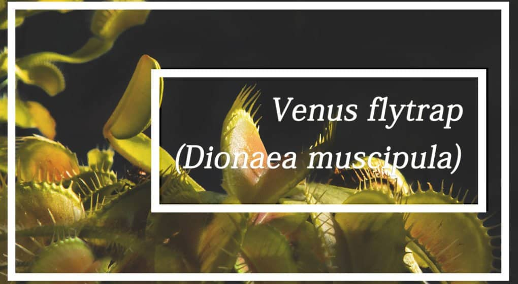 Aprender Más Acerca de Venus Atrapamoscas (Dionaea Muscipula)