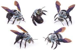 Visión diferente de la abeja carpintera