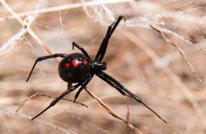 Increíble Viuda Negra Araña Hechos y el Tratamiento de Mordeduras