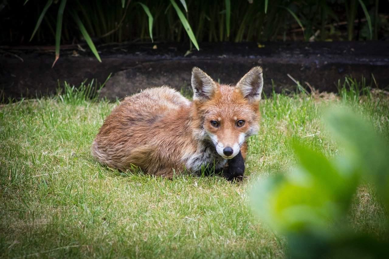 Cómo Controlar los Zorros de Jardín y Mantener su Jardín Seguro