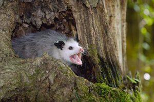zarigüeya vive en el árbol