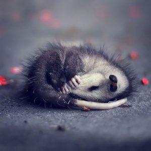 Zarigüeya bebé durmiendo en el suelo