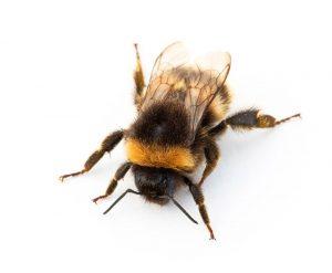 Un abejorro contra un fondo blanco.