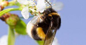 Un abejorro en una flor blanca.
