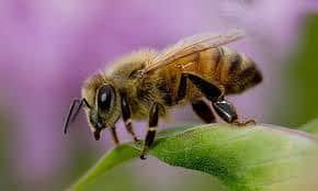 una abeja africanizada en la naturaleza