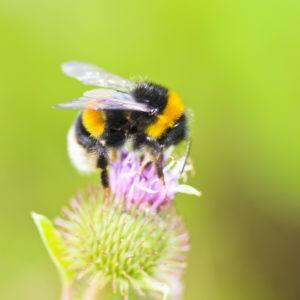 Una abeja que se sienta en la flor salvaje.