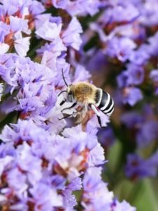 Digger Bee Amegilla quadrifasciata coleccionando néctar de bandas blancas.