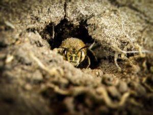 una abeja de tierra en un agujero seco