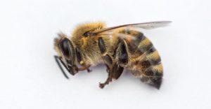 Imagen macro de una abeja muerta sobre un fondo blanco de una colmena en declive.