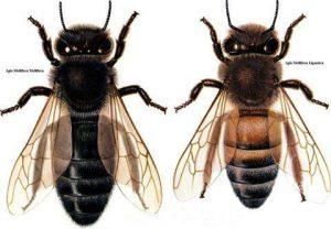 Apis mellifera mellifera, comúnmente llamada 'abeja oscura europea' o 'abeja negra alemana, y la abeja italiana.