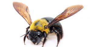 abeja sola de carpintero