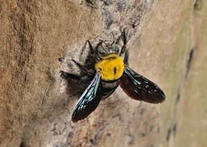 sola abeja de carpintero en la pared
