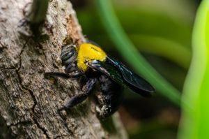 abeja carpintera en el árbol